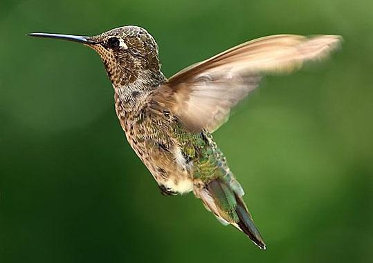 Birdhummingbird1
