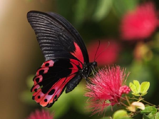 ButterflyBlkPink