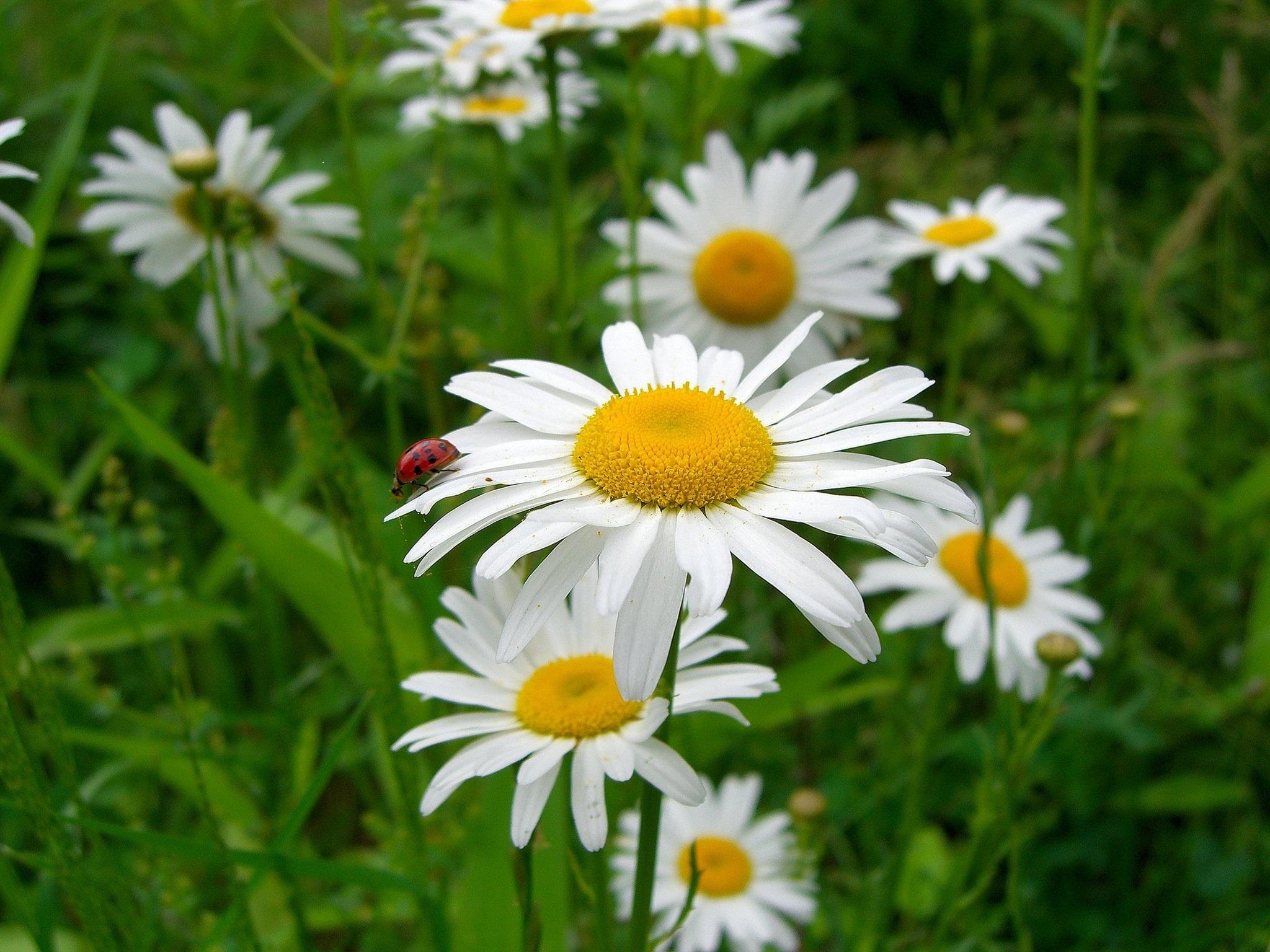 FlowersDaisy