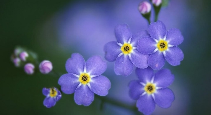 FlowersForget-Me-Nots2