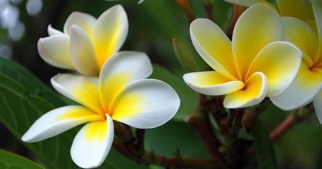 FlowersFrangipani1