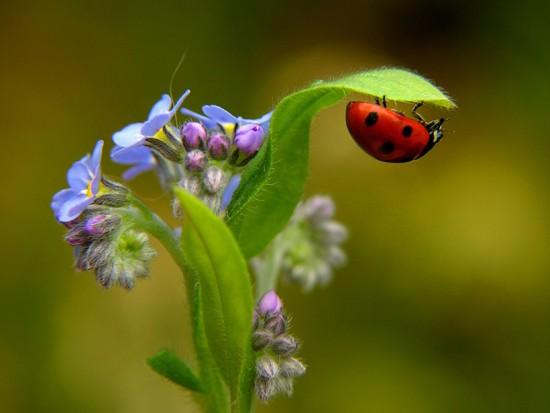 LadybugFlower6