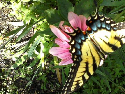 ButterflyClient